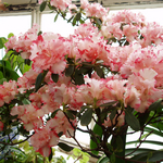 RhododendronSimsiiFlowers2